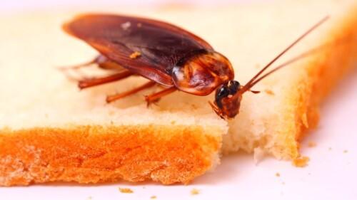 Тараканы откуда берутся и как избавиться