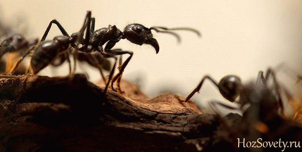 Как самостоятельно вывести черных муравьев дома и на даче