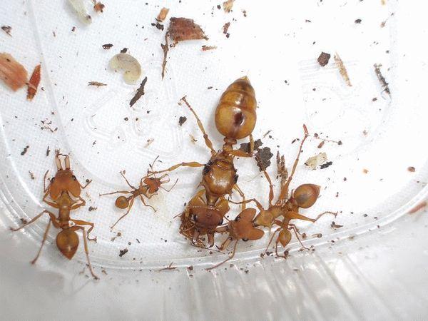 Красные муравьи в квартире от чего они появляются и как избавиться