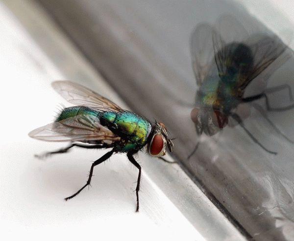 Откуда столько мух в квартире