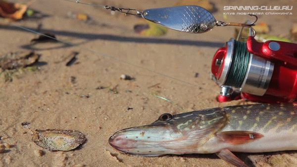 Составляющие успеха при ловле на поппер брызгами, напоминающими те